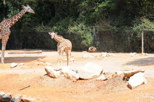 Zoobabygiraffe