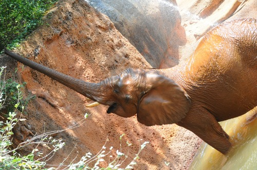 Zooelephant1